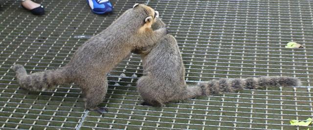 Quatis brigando por comida