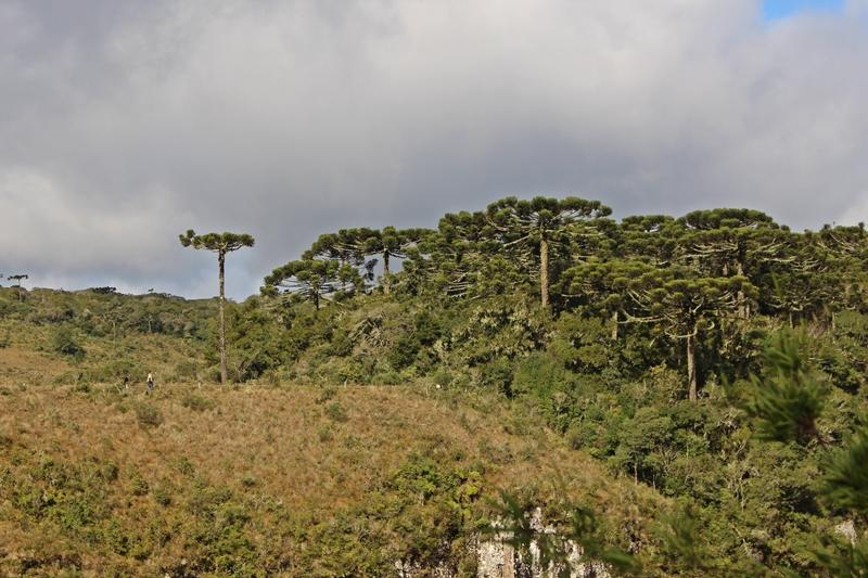 floresta araucárias