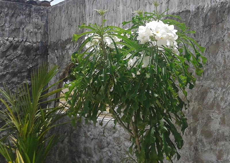 flores do marajo