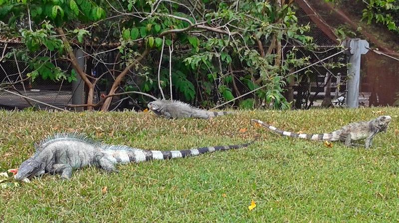 iguanas mangal das garças