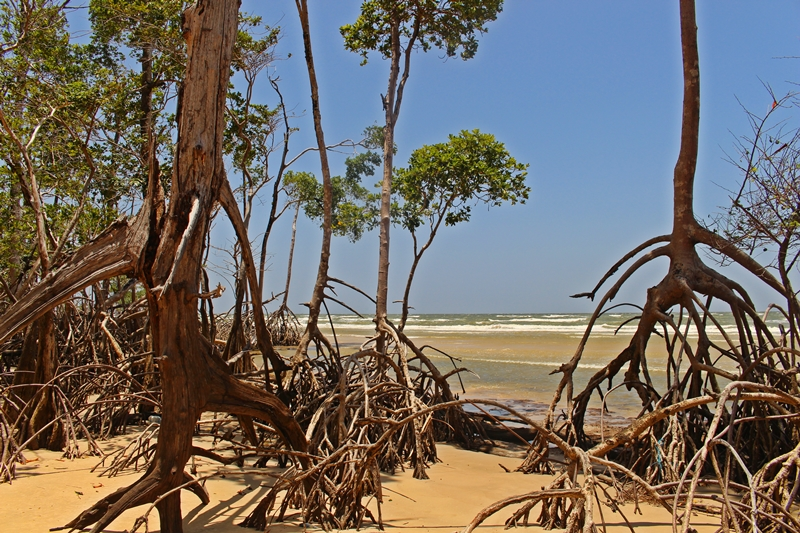 praia do goiabal marajó raizes aereas