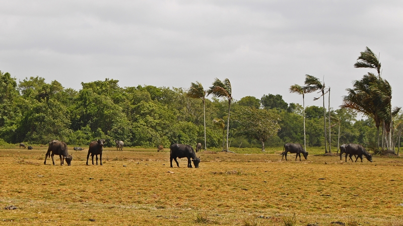 Búfalos na fazenda