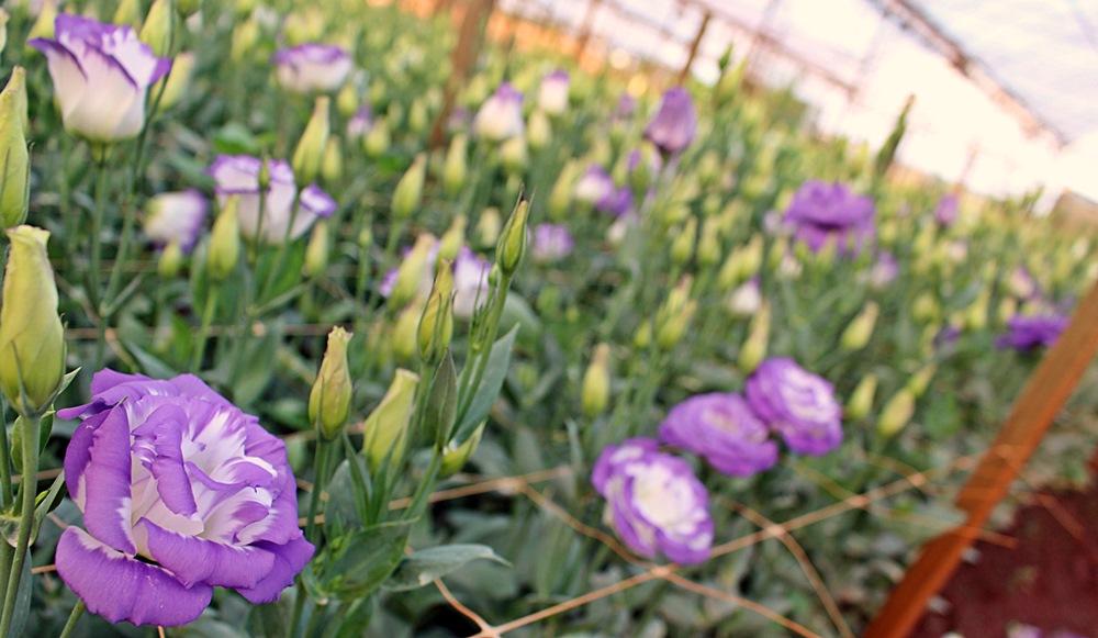 Em Holambra é possível fazer city tour que inclui a visita em plantações maravilhosas das mais coloridas flores.