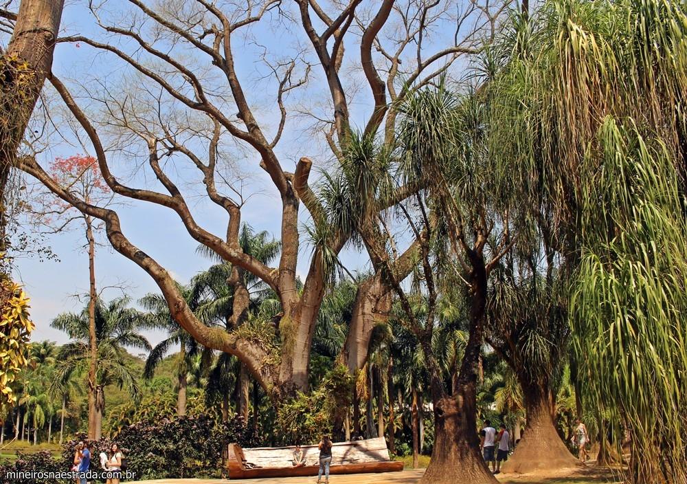 O tamboril é uma das árvores mais emblemáticas do Inhotim. Acredita-se que tenha 100 anos!