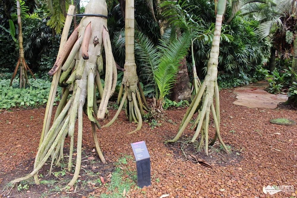 Paxiúba, árvore com raízes-escoras, no Inhotim, em Brumadinho, Minas Gerais.