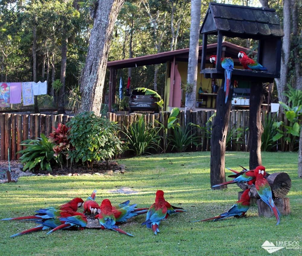 Araras se alimentando próximo às Grutas São Miguel, em Bonito, Mato Grosso do Sul.