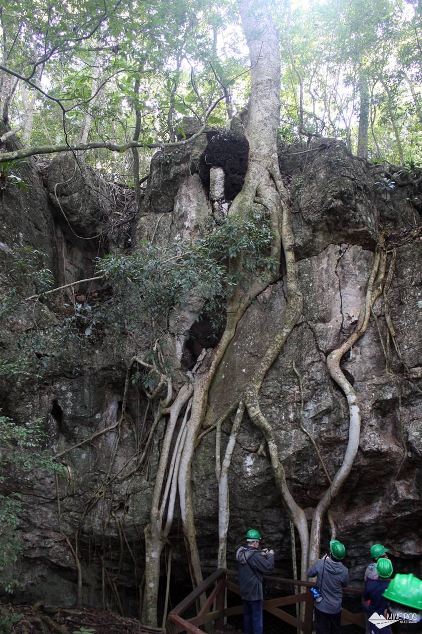 Enorme figueira com raízes expostas, na Gruta de São Miguel, em Bonito, Mato Grosso do Sul.