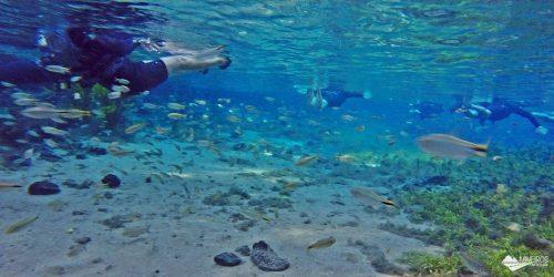Flutuação na Nascente Azul, em Bonito: águas cristalinas e muitos peixes