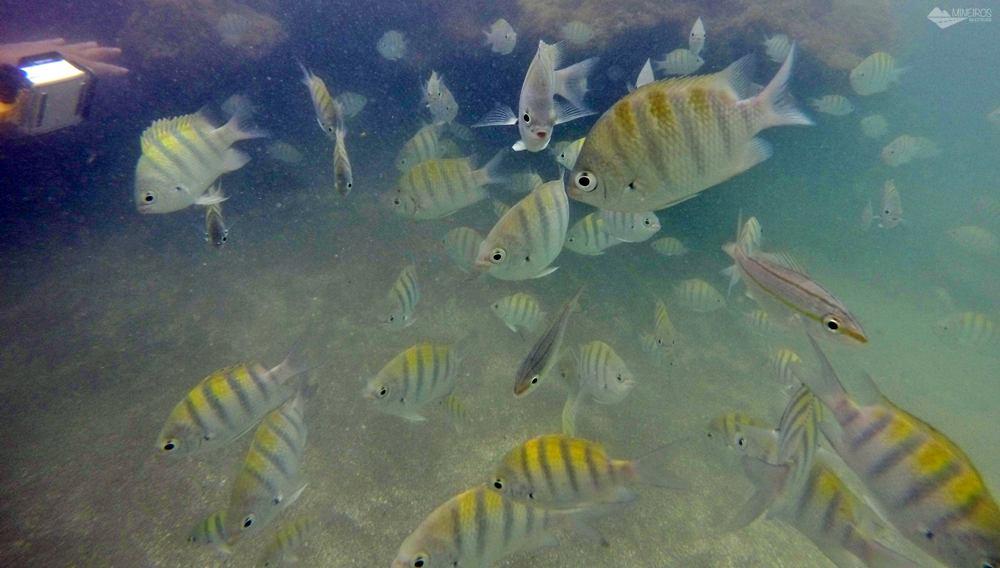 Peixes nas piscinas naturais da Praia dos Carneiros.