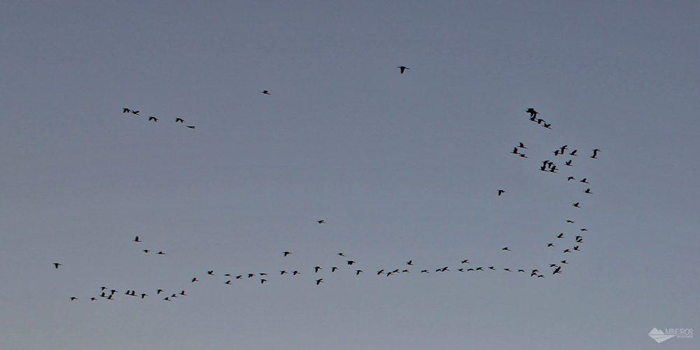 Como é a revoada dos guarás em Atins, nos Lençóis Maranhenses. Este espetáculo pode ser visto diariamente, durante pôr do sol.