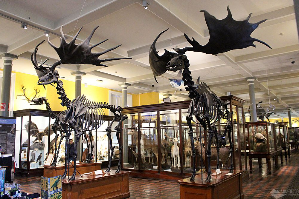 Veados gigantes, Museu de História Natural, Irlanda