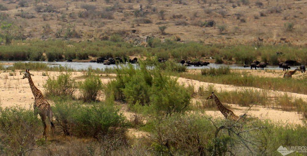 kruger park safari bufalos