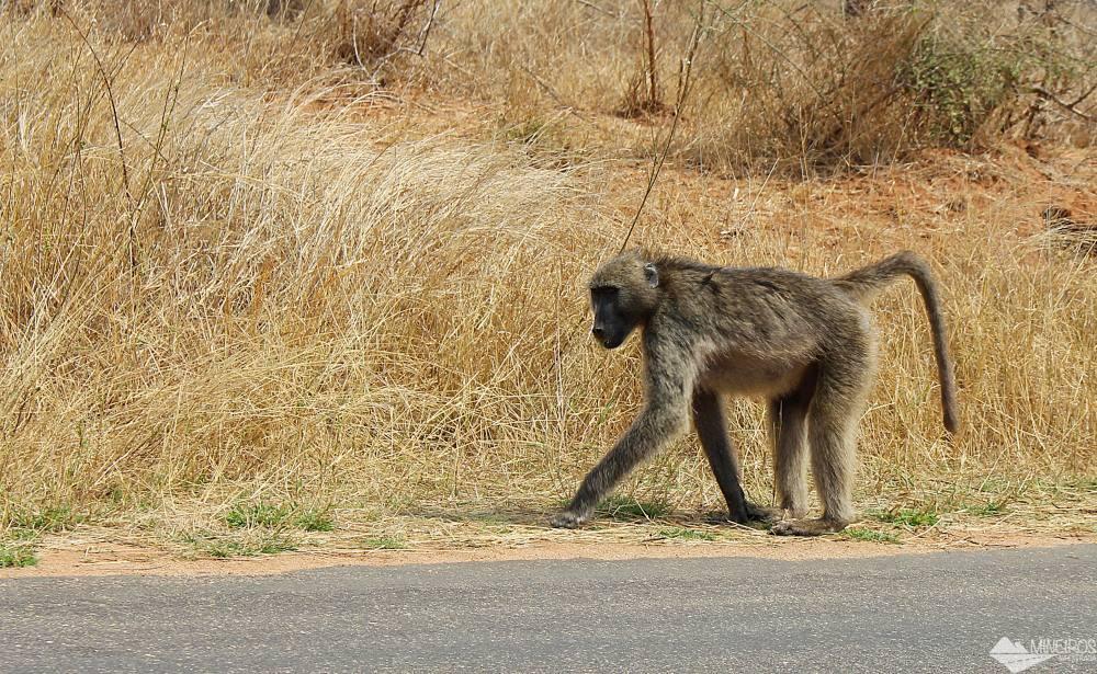 macacos babuinos
