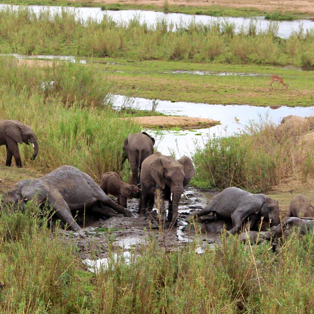 safari no kruger park elefantes