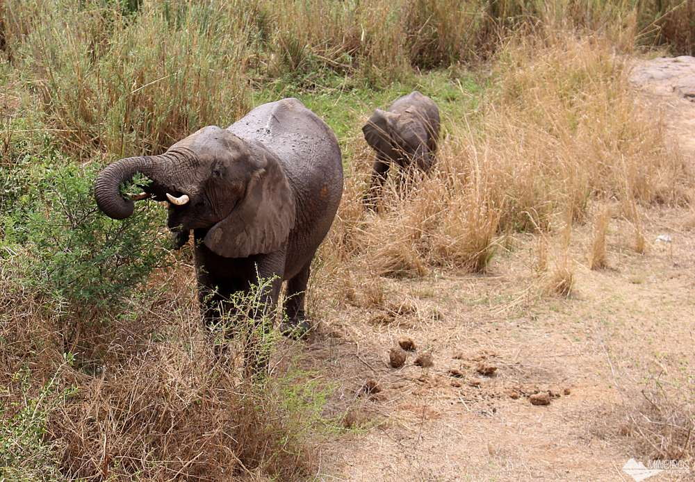 elefantes se alimentando