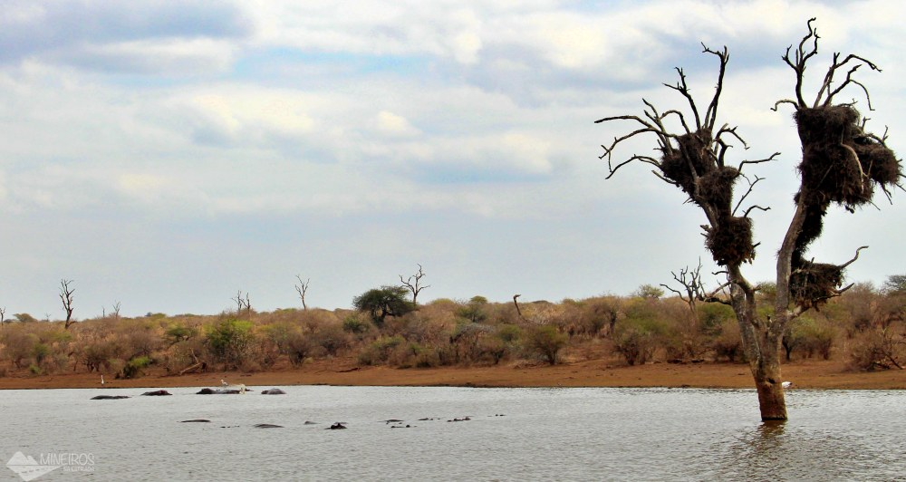 hiopotamos no lago kruger