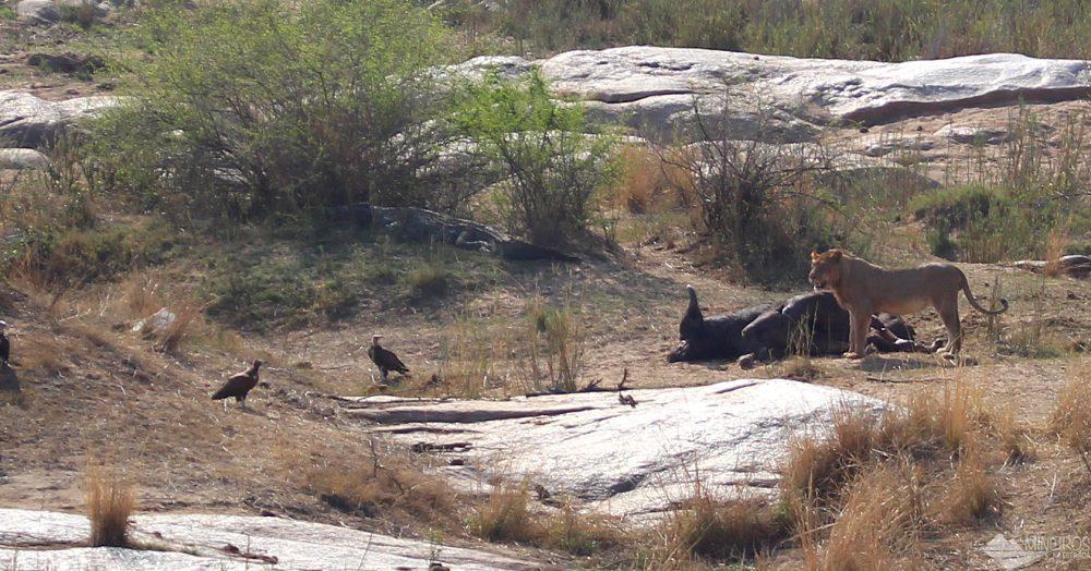 leoes comendo bufao kruger park