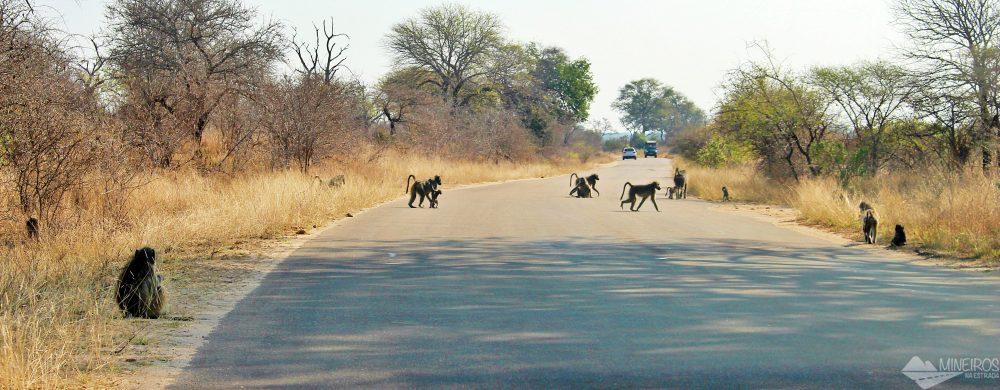 babuinos kruger park