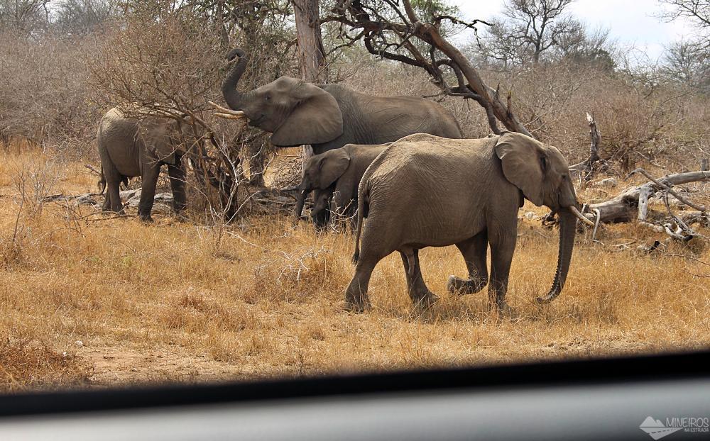elefantes se alimentando safari kruger park