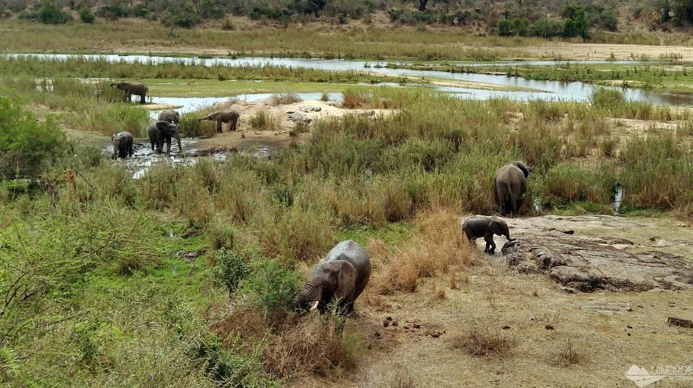 elefantes comendo kruger park