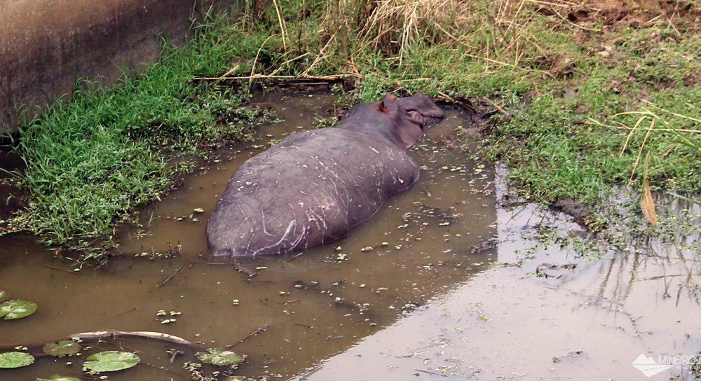 hipopótamo visto durante safári
