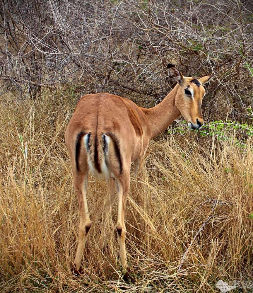 impala femea kruger park