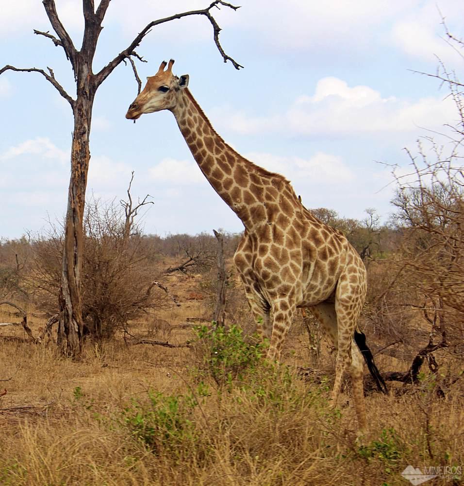 girafa safari kruger park