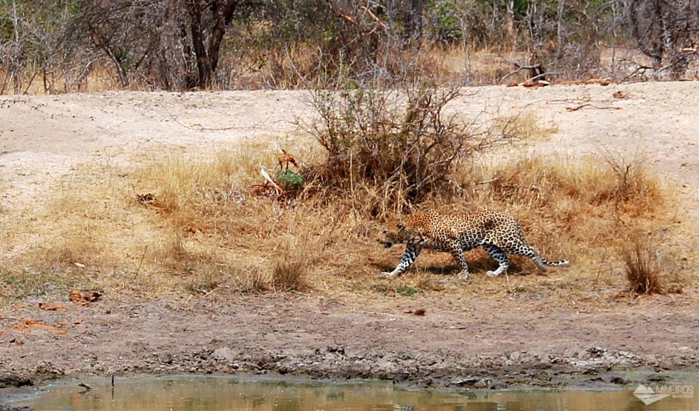 leopardo andando visto durante safari por conta propria no kruger