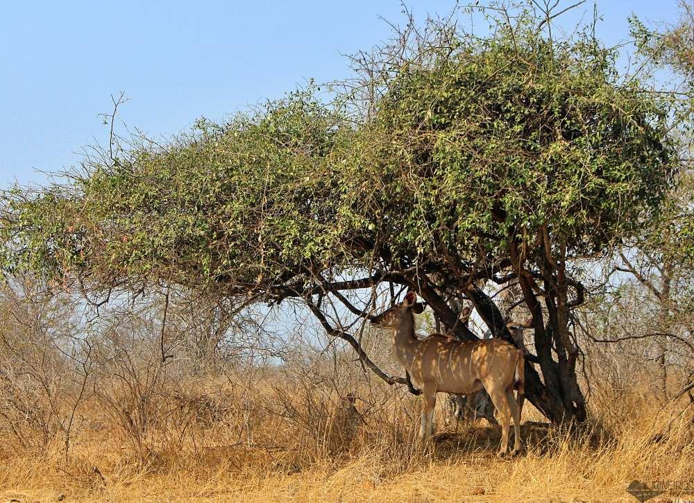 kudu no kruger park