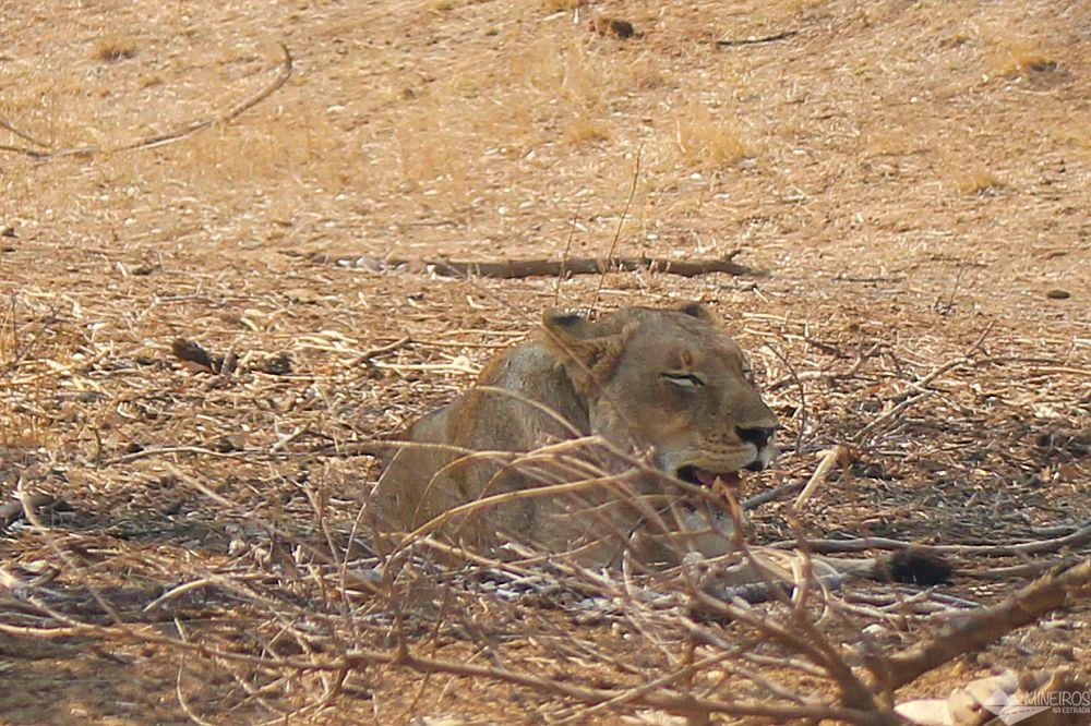 leoa vista no nosso safari por conta propria no kruger
