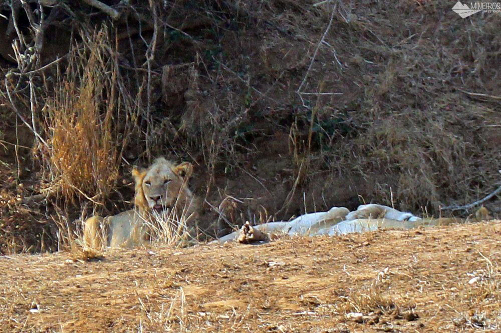 leoes vistos no nosso safari por conta propria no kruger
