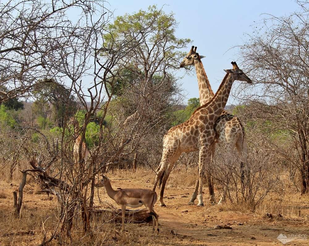 girafas no Kruger Park
