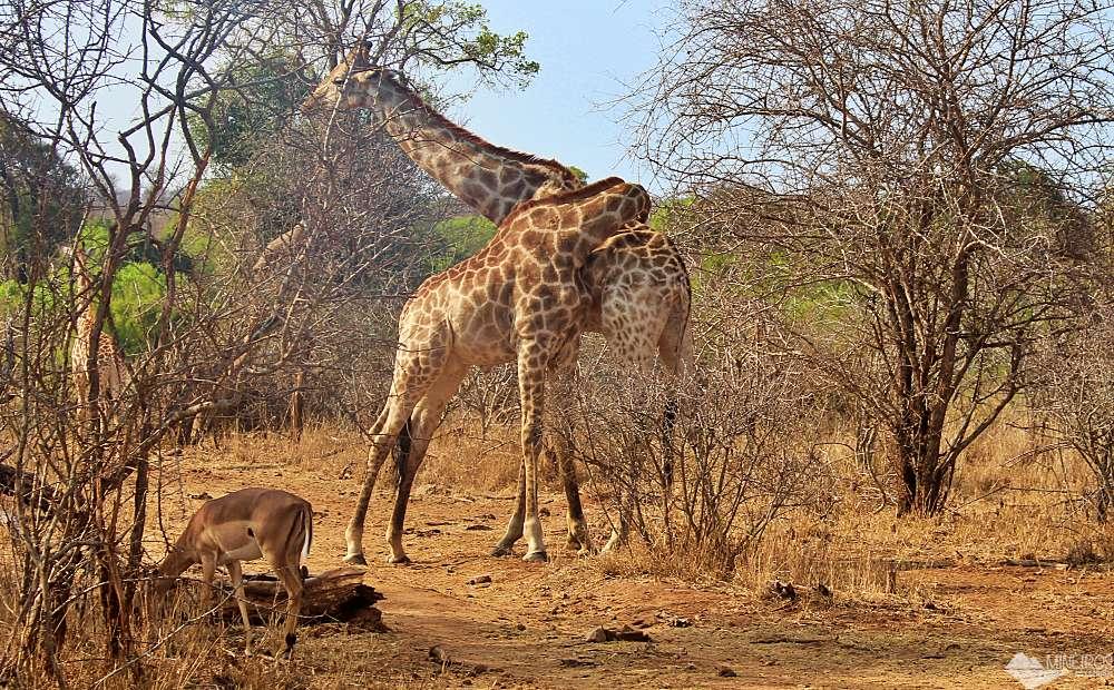 safari por conta propria no kruger park - girafas