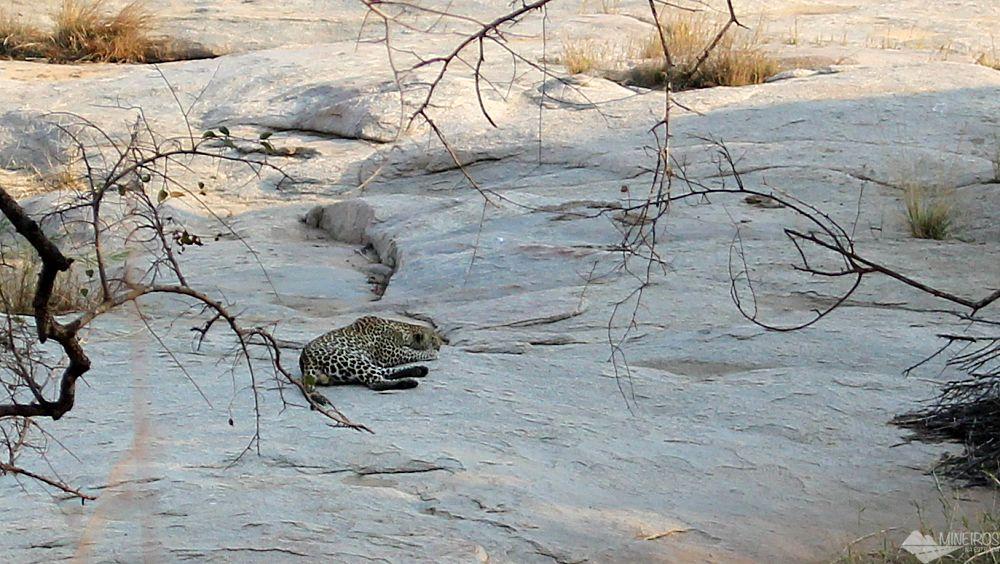 leopardo descansando no kruger park