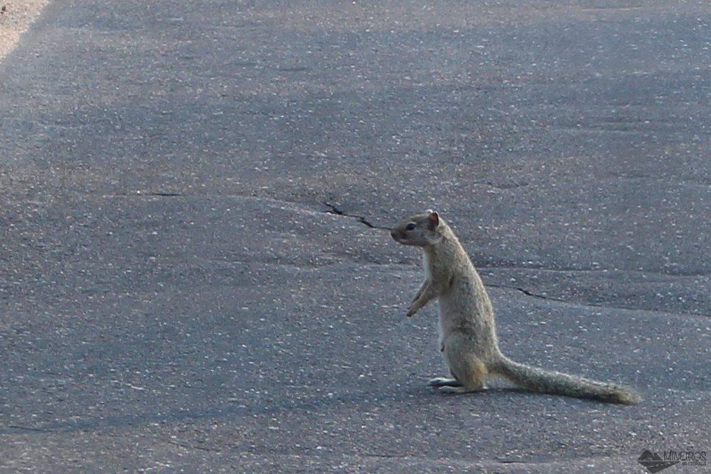 esquilo kruger national park