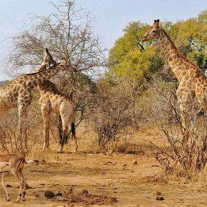 Como foram nossos 4 dias de safári por conta própria no Kruger National Park – Dia 2