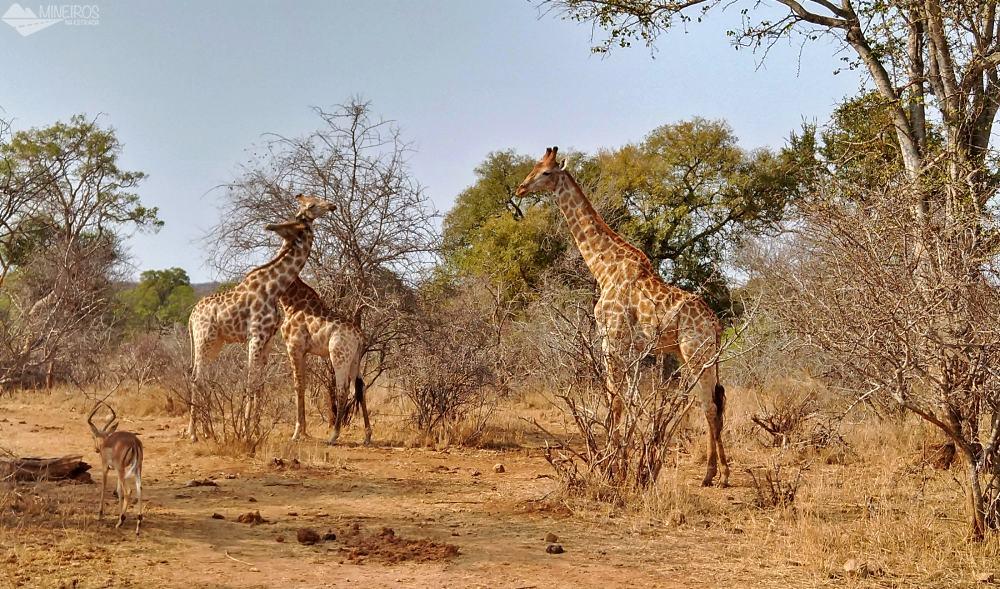 girafas vistas durante nosso safari por conta propria no kruger park