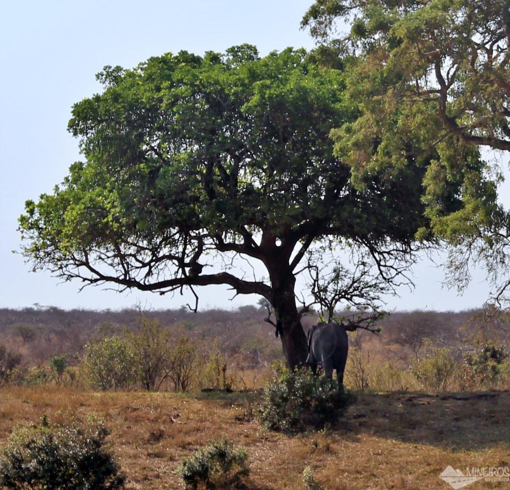 elefante debaixo da árvore kruger safári