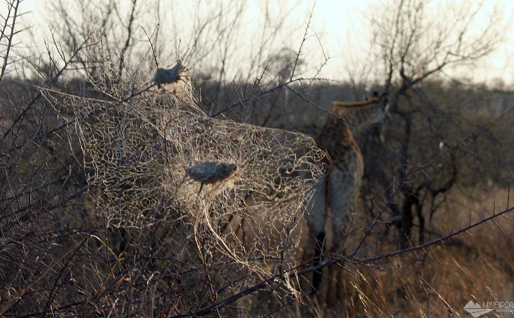 ninhos de aranha Kruger PArk