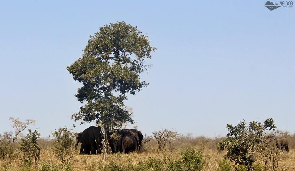 elefante debaixo da arvore kruger