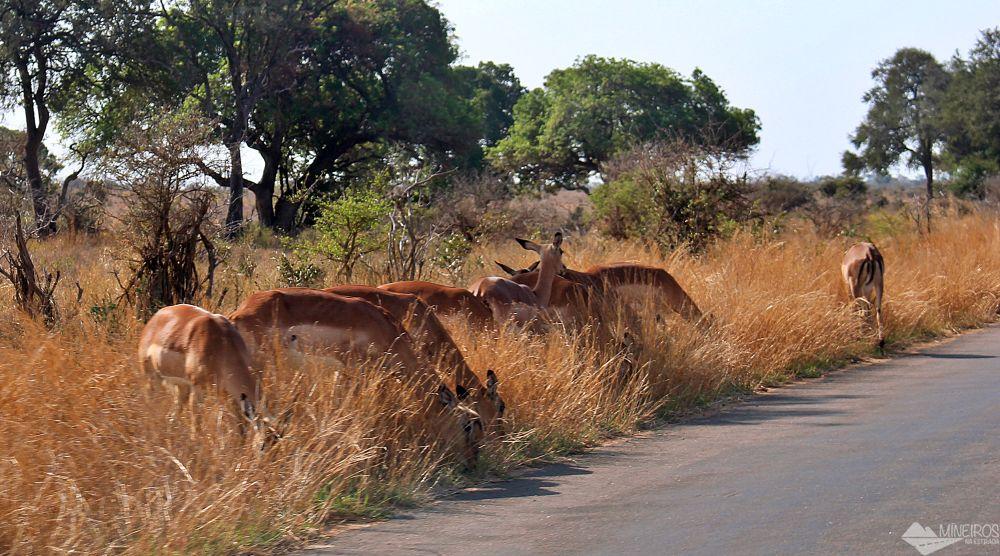 animais pastando estrada asfaltada kruger park