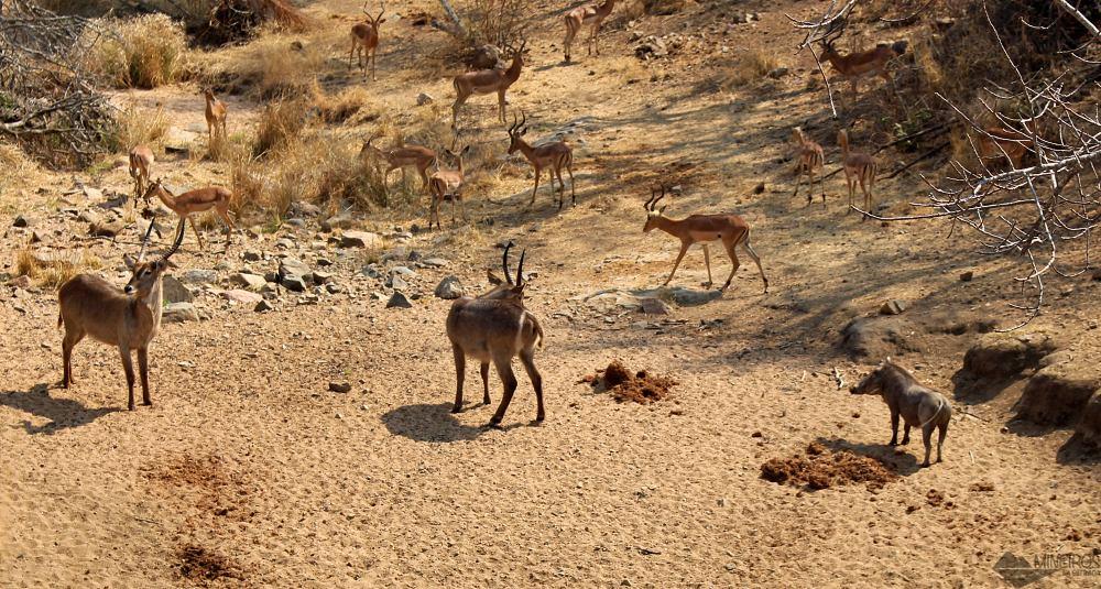 javali, cobo de meia lua e impalas. Self safari na Africa do sul