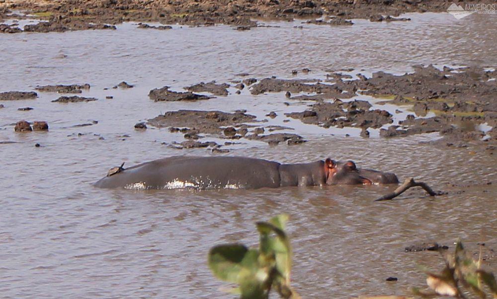 hipopotamo self safari na africa do sul