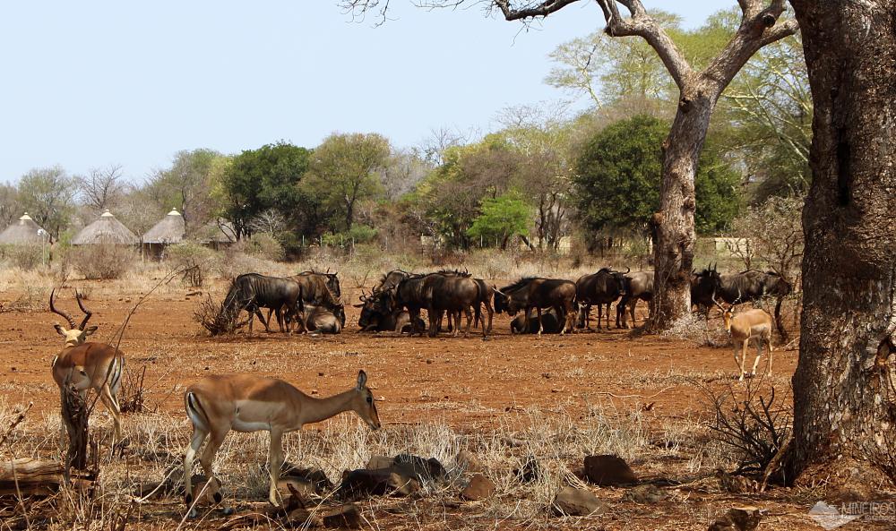 gnus e impalas kruger national park