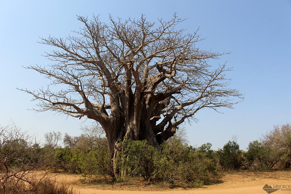 o baobá mais ao sul está no Kruger National Park