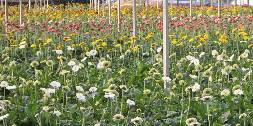 City tour em Holambra – conhecendo campos de flores