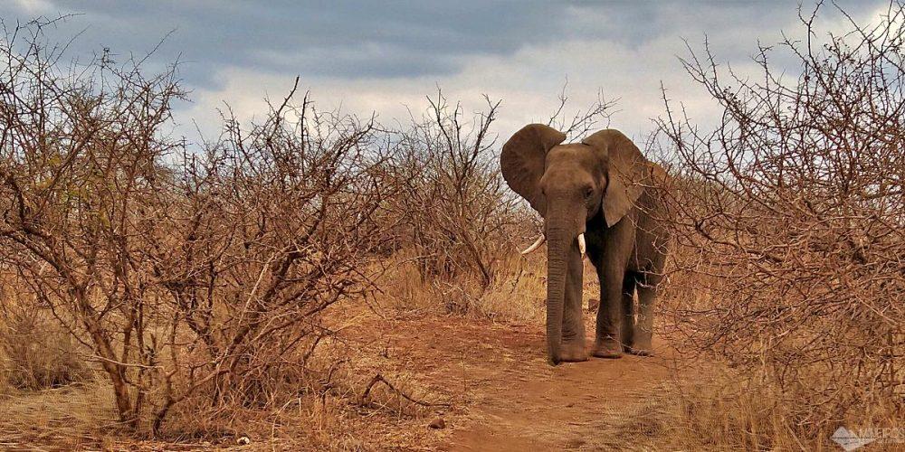 Safári no Kruger: TUDO o que você precisa saber