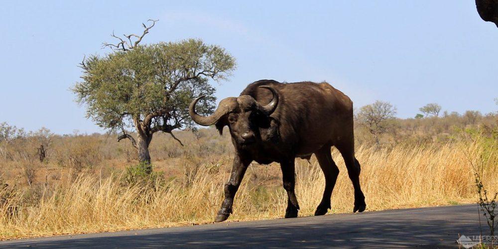 Como foram nossos 4 dias de safári por conta própria no Kruger National Park – Dia 4